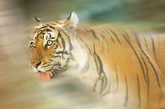 Lopende tijger Stock Afbeelding