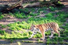 Lopende tijger Royalty-vrije Stock Afbeeldingen