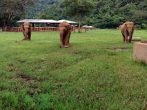 Lopende vernomen olifanten Stock Afbeeldingen