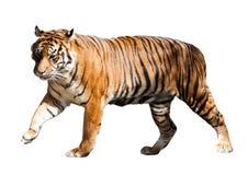 Lopende volwassen tijger Royalty-vrije Stock Foto