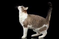 Lopende Witte Cat Raising op Hoofd op Geïsoleerde Zwarte Achtergrond stock afbeeldingen
