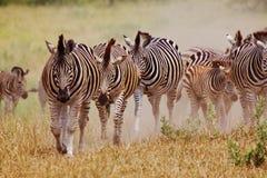 Lopende Zebra Stock Afbeelding