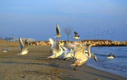 Lopende zwanen op strand royalty-vrije stock afbeeldingen