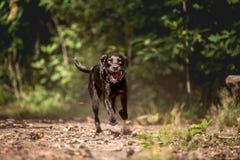 Lopende zwarte hond Royalty-vrije Stock Foto