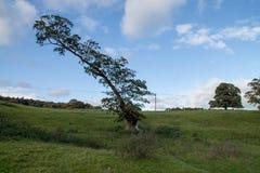 Lopesided Oak Tree Stock Images