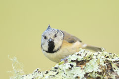 Lophophanes cristatus. The Crested tit is a small insectivorous bird confined in large and medium coniferous forests and deciduous forests stock images