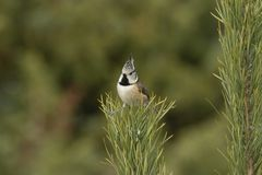 Crested Tit, Lophophanes cristatus. A songbird. Lophophanes cristatus, the crested tit, is a songbird with a beautiful crest stock photography