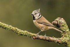 Crested Tit, Lophophanes cristatus. A songbird. Lophophanes cristatus, the crested tit, is a songbird with a beautiful crest stock image