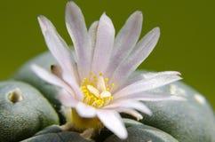 Lophophora floreciente Williamsii - cactus del Peyote Fotos de archivo
