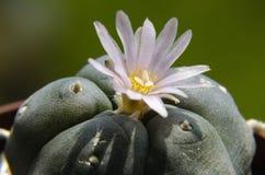 Lophophora floreciente Williamsiii - cactus del Peyote Imagen de archivo