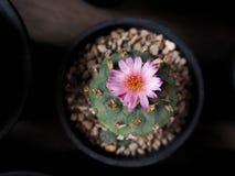 Lophophora jourdaniana cactus Stock Images
