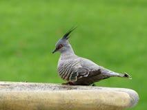 Lophotes crêtés d'Ocyphaps de pigeon, Australie du sud, Australie Photo libre de droits