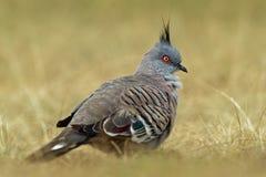 Lophotes de Ocyphaps - paloma con cresta en la hierba Fotografía de archivo