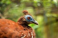 与蓝色面孔关闭的有顶饰炉后壁(Lophura ignita)炉后壁野鸡鸟有动物园背景 免版税图库摄影