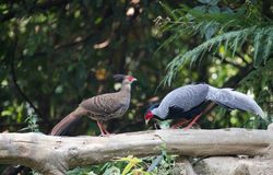 Lophura nycthemera/The silver pheasant. Lophura nycthemera Stock Photography