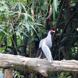 Lophura nycthemera/The silver pheasant. Lophura nycthemera The silver pheasant is mainly found in mountains forests of mainland Southeast Asia. The male is black Stock Photos