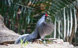 Lophura nycthemera/The silver pheasant. Lophura nycthemera Stock Photo