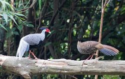 Lophura nycthemera/The silver pheasant. Lophura nycthemera Stock Photos