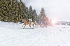 Lopp för slädehund på insnöad vinter Royaltyfria Bilder