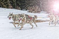 Lopp för slädehund på insnöad vinter Arkivbilder