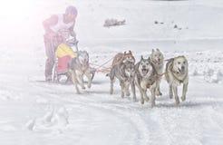 Lopp för slädehund på insnöad vinter Arkivfoto