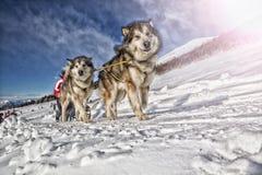 Lopp för slädehund på insnöad vinter Royaltyfri Fotografi