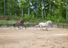 Lopp för två hästar runt om övningscirkeln Royaltyfri Bild