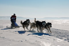 Lopp för slädehund som är skrovligt i vinter Royaltyfri Bild