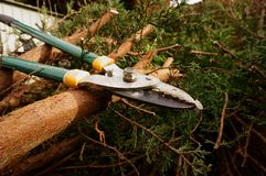 Loppers on trees A Royalty Free Stock Photo