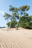 Lopsided Scots Pine trees growing on a sandy dune. Dune landscape in summertime with Scots Pine or Pinus sylvestris trees in the background and hot yellow sand Royalty Free Stock Photos