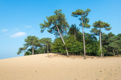 Lopsided Scots Pine trees growing on a sandy dune. Dune landscape in summertime with Scots Pine or Pinus sylvestris trees in the background and hot yellow sand Royalty Free Stock Images