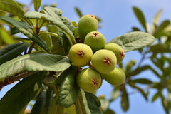 Loquat on the branch Stock Images