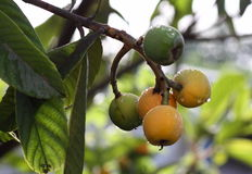 Loquat and dew Stock Image