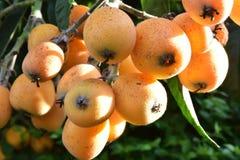 Loquat drzewa roślina Zdjęcie Stock