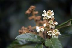 Loquat drzewo w kwiacie Fotografia Royalty Free