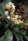 Loquat drzewo w kwiacie Zdjęcie Royalty Free