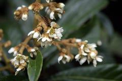 Loquat drzewo w kwiacie Zdjęcia Royalty Free
