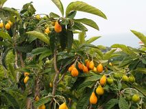 Loquat or Eriobotrya Japonica On The Island Of Crete Stock Images