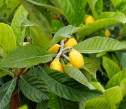 Loquat or Eriobotrya Japonica On The Island Of Crete Royalty Free Stock Photos