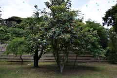 Loquat. Is an evergreen tall tree of the rose family and its fruit is sweet and tasty Stock Photo