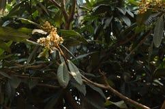 Loquat, flor del loquat Imagen de archivo libre de regalías