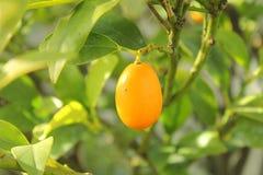Loquat fruit on the tree Royalty Free Stock Photos