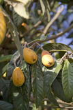 Loquat fruits on the Tree Stock Image
