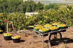 Loquat harvest Stock Photo