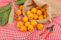 Loquat harvest. Still life with some freshly picked loquats Royalty Free Stock Image