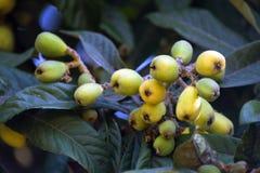 Loquat, japonica Eriobotrya, που εκτιμάται πολύ στη Βραζιλία Στοκ Εικόνες