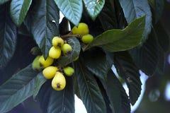 Loquat, japonica Eriobotrya, που εκτιμάται πολύ στη Βραζιλία Στοκ Εικόνα