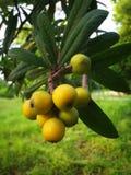 Loquat jaune Photographie stock