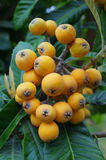Loquat Royalty Free Stock Images