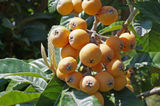 Loquat Stock Photography